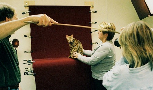 Photographing a Champion Bengal cat at TICA Waxahachie cat show