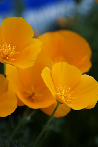 Poppy [136/365]