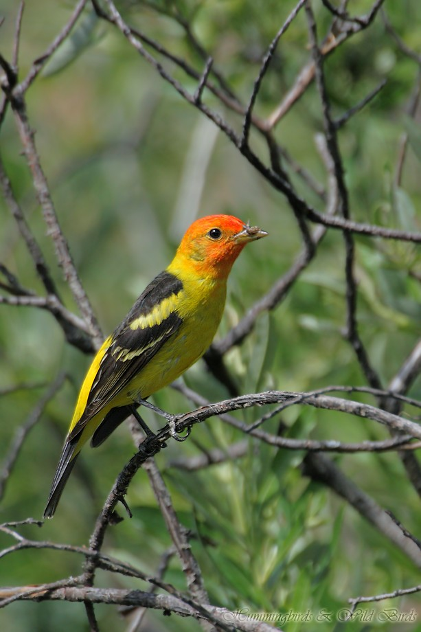 Western Tanager 05211111-6