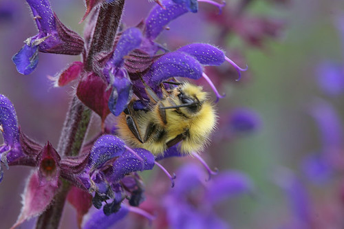 Bee on Salvia nemorosa 'Caradonna'