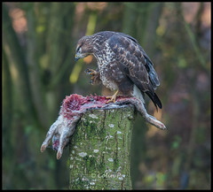 Buzzard (Buteo buteo) ......... Wild not Captive ( Marton Heath ) (Col-Page) Tags: