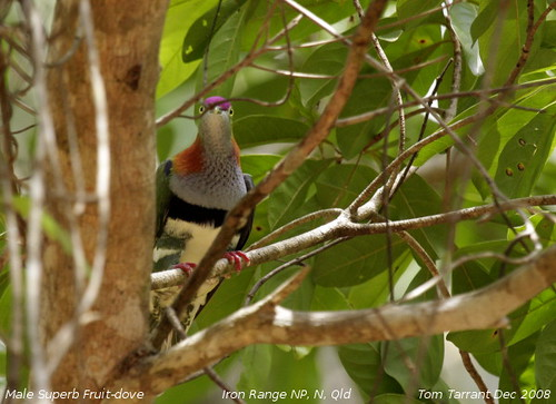 Superb Fruit-Dove (Ptilinopus superbus) by aviceda.