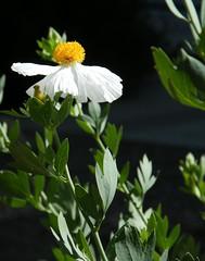 .. (Murfomurf) Tags: white bush poppy californianpoppy romneycoulteri