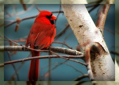 Northern Cardinal in River Birch (mightyquinninwky) Tags: tree bird rural geotagged countryside backyard dof cardinal bokeh farm kentucky branches country farmland depthoffield ave limbs picnik smalltown cardinaliscardinalis westernkentucky northerncardinal malenortherncardinal statebird orderpasseriformes nativebird riverbirch nativefauna nativeflora edgeoftown backyardnature avianphotography ruralkentucky geo:lon=87905501 geo:lat=3769316 thebluegrassstate agriculturalcommunity thecommonwealthofkentucky smalltownkentucky nativekentuckyfauna nativekentuckybird nativekentucyflora familycardinalidae