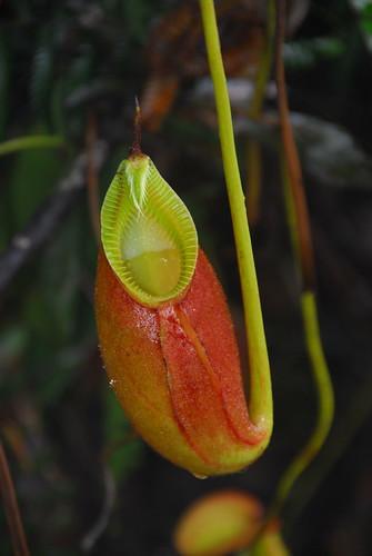 Carniverous Pitcher Plant