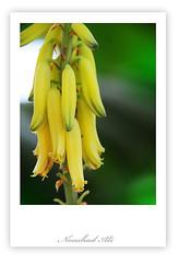 Banana ? no..Really I dont know it's name (ArabianLens.com) Tags: flower macro nature beauty yellow