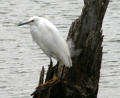 Snowy Egret on a Blustery Winter's Day