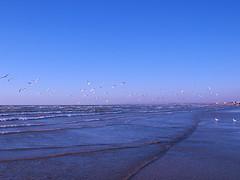 Flying (Mahsa3611) Tags: sea bird nature iran wave ايران دريا پرنده طبيعت موج cmwdblue گناوه