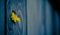 Hang in There (Parabola-Pop) Tags: blue flower yellow fence d50 50mm weed nikon dof bokeh wide arkansas digitalartistry