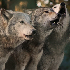 Howling Grey Wolves (Gary's Photos!!) Tags: ireland dublin dog eye dogs nature animal canon fur mammal nose photography eos grey zoo photo big scary paw wolf foto fierce wildlife teeth gray bad conservation canine ear celtic endangered lupus graywolf wolves gentle howl carnivore protected phoenixpark greywolf canis goldenglobe canislupus threatened chordata canidae 50d digitalcameraclub garywilson golddragon baileathcliath impressedbeauty thebestofday gnneniyisi itsazoooutthere topqualityimagesonly vosplusbellesphotos
