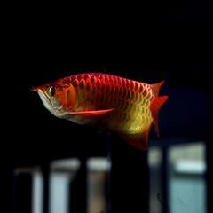 Red Arowana ([Jongky]) Tags: red fish borneo ikan kalimantan freshwaterfish arwana redarowana tukularwana ikanarwana