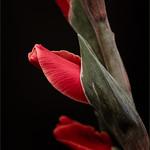 Gladiolus 2