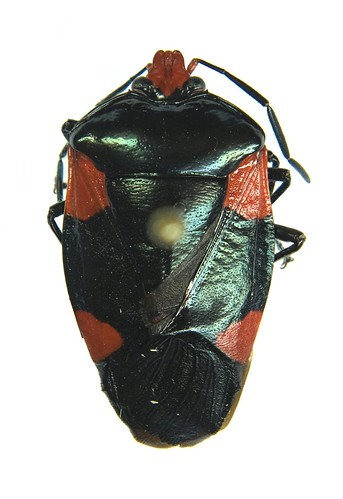 Red and Black Shield Bug - This pentatomid caught my eye amongst material collected in Ecuador.