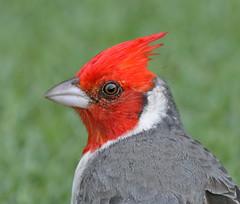 Red-crested Cardinal (janruss) Tags: bird cardinal explore avian redcrestedcardinal explorefrontpage specanimal platinumphoto fbdg theperfectphotographer 100commentgroup colorphotoawardbronze colorphotoawardsilver colorphotoawardgold alittlebeauty janruss janinerussell
