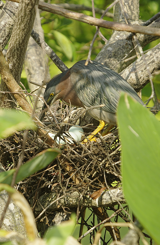 Green Heron comes to the nest