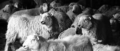 Sheep, Glyndyfrdwy (Fin Wright) Tags: white black barn canon ian eos sheep c wright fin ianwright april08 450d glyndyfrdwy finwright scpad scpad2 finwrightphotographycouk finwrightphotography