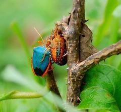 CORES NATURAIS (Fê Freire) Tags: brazil naturaleza color colour macro nature animal animals brasil cores natureza animais ceara cor insetos coloridos besouros brèsil fernandafreire fotomacro