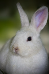 A visit from the Easter Bunny (aussiegall) Tags: rabbit bunny animal easter lost backyard searchthebest ears easter