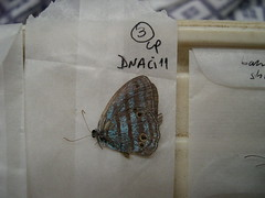 Cepheuptychia cephus
