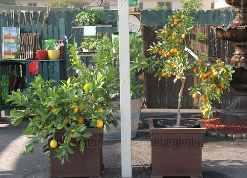 lemons and kumquats