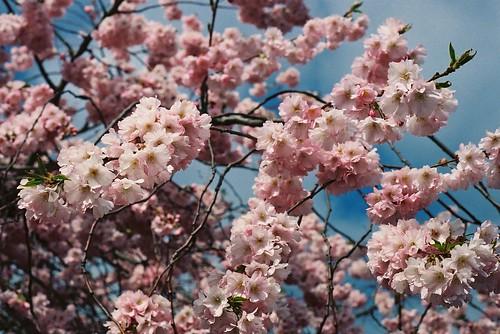 Wimbledon Blossom