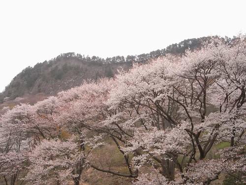 【桜】『屏風岩公苑』@曽爾村-03