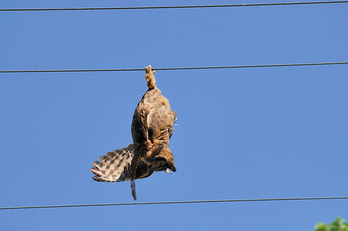 Dead owl hanging upside down from wire | Secret Life of