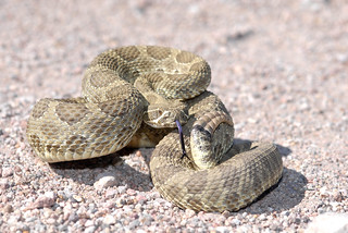 Arizona Mojave Rattlesnake