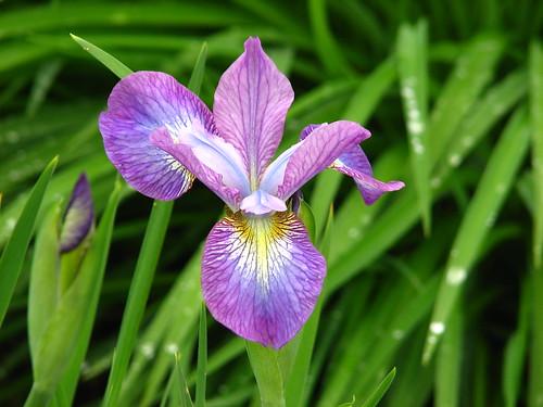 Iris 'Illini Charm'
