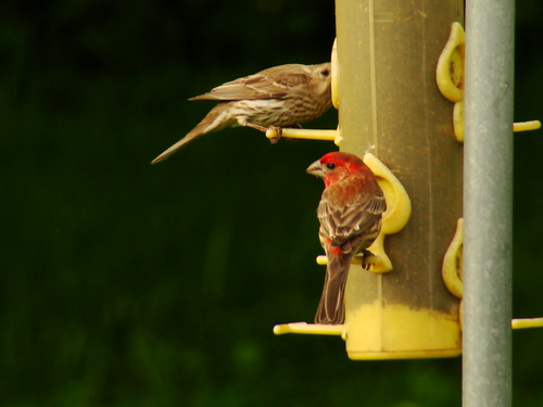 House finch 5-2-09