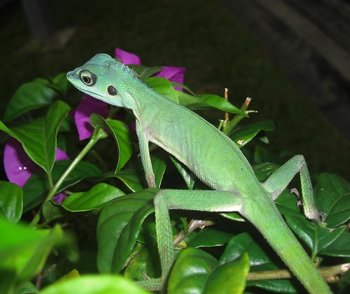 Green Crested Lizard by Shawn14595