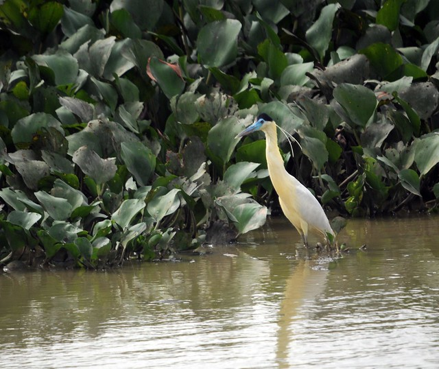 capped heron