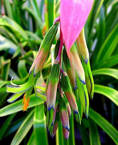 Bilbergia Nutans Lotusland
