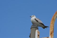 Seagull (kenyaya) Tags: seagulls lake toronto ontario canada bird beach nature birds canon rebel fly seagull xs brimley 1000d