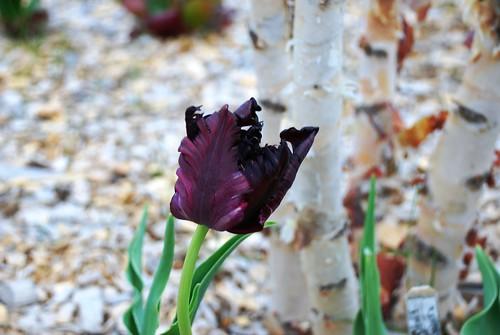 Tulip: Black Parrot