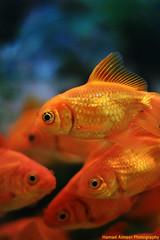 Gold Fish (Hamad Al-meer) Tags: blue orange fish eye water canon eos gold creature hamad 30d  almeer  hamadhd hamadhdcom wwwhamadhdcom