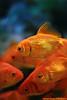 Gold Fish (Hamad Al-meer) Tags: blue orange fish eye water canon eos gold creature hamad 30d حمد almeer المير hamadhd hamadhdcom wwwhamadhdcom