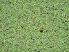 WATER FERN (Azolla filiculoides) helechito de agua .......... original= (3648 x 2736) (turdusprosopis) Tags: azolla waterfern jardínbotánicocarlosthays salviniaceae azollaceae azollafiliculoides floraargentina plantasargentinas plantasdeargentina plantasautóctonasargentinas plantasautóctonasdelaargentina floraautóctonaargentina floraautóctonadeargentina plantasnativasargentinas plantasnativasdeargentina plantasnativasdelaargentina floradelaargentina floradeargentina plantasautóctonasdeargentina floraautóctonadelaargentina floranativabrasileira floranativadobrasil floradobrasil jardínbotánicodepalermo argentineindigenousplants argentineflora maízfrito watervelvet pacificazolla azolláceas azollafiliculoideslam helechodelagua helechomosquito helechodepato helechodeagua azollacarolinianawilld azollamicrophyllakaulf azollamexicanapresl azollajaponicafranchampsav azollarubrarbr azollaarbusculadesv azollamagellanicawild azollasquamosamolina azollafiliculoidesvarrubra azollas helechitodelagua salviniáceas