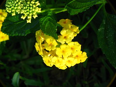 """IMG_7695 (Claire DeLand ~ """"GA Music Maker"""") Tags: flowers dewdrops lantana earlymorninglight g9 butterflybait carnesvillega flowerswithdewdrops"""