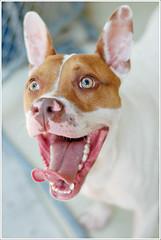 Kramer as bat boy (jclutter) Tags: rescue dog shelter adopt kramer batboy batdog petpalanimalshelter wwpetpalanimalsheltercom