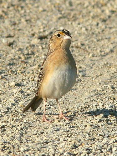 Grasshopper Sparrow 20090605