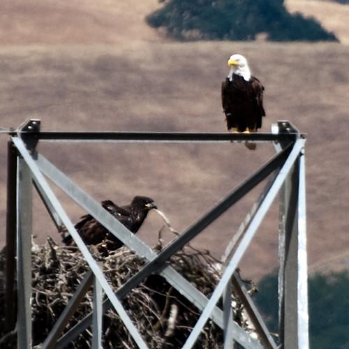 Eaglet #4