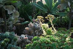 Under side of succulent leaves, Meditation Garden - Self-Realization Fellowship, Encinitas, California, USA (Wonderlane) Tags: california usa plant green leaves june yoga gardens succulent a