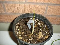 Sealing the Graft (Passitrus) Tags: passiflora grafting