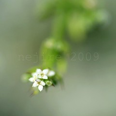 tiny white flowers ... (_nejire_) Tags: england plant flower macro green nature canon flora bokeh explore when wildflower 67 tamronspaf90mmf28dimacro11 nejire 400d eos400d canoneos400d 940pm mhashi 5318354g7am その後5つ目。さてどうなるか? 9526555g6pm no333