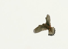 kestrel (dudley72) Tags: park uk bird nature wildlife south yorkshire hunting flight prey kestrel pheonix hover dearne