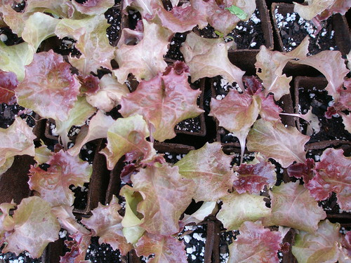 'Red Grand Rapids' lettuce