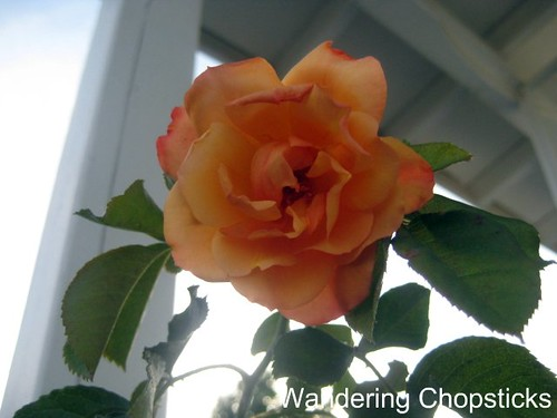 4.30 Autumn Sunset Climbing Rose