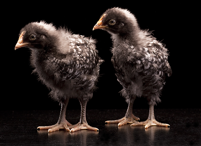 barred rock chicks