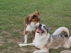 Blow in my ear (hellocopter) Tags: park blue red dog mutt mix eyes husky funny haiku shepherd australian tan aussie siberian merle auskies